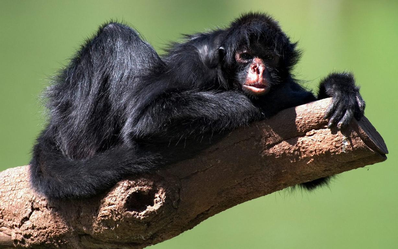 Monkey Wallpaper Free Download Wild Animals Hd Desktop Best