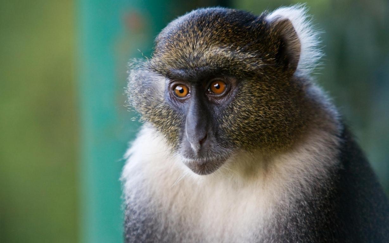 Monkey Wallpaper Free Download Wild Animals Hd Desktop Image Best