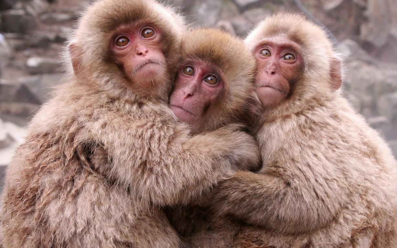 Monkey Wallpaper Free Download Wild Animals Hd Image Best