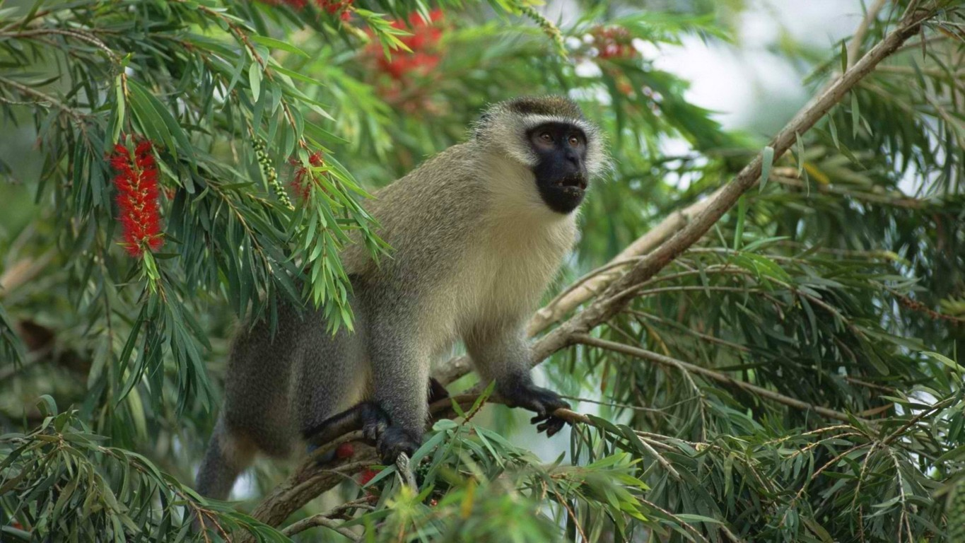Monkey Wallpapers High Definition Backgrounds Wallpaper