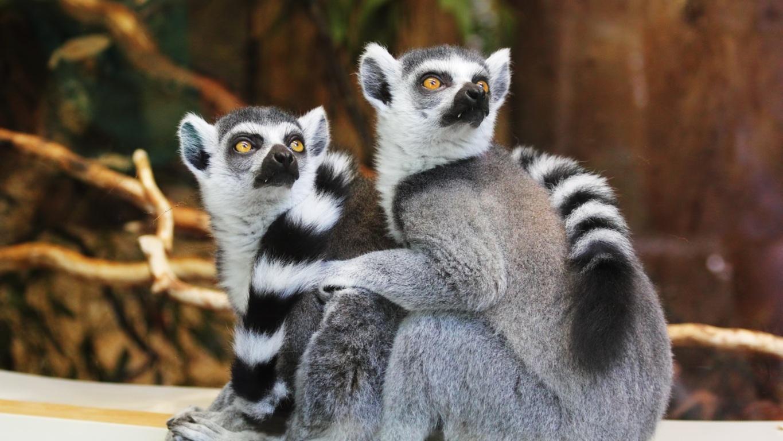 Playing lemurs Wallpapers