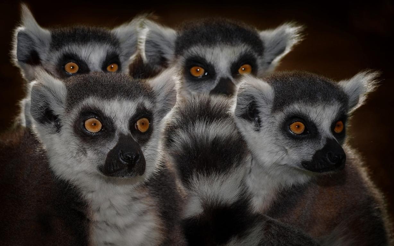 Ring Tailed Lemur 4k Desktop Wallpapers For 4k Ultra Hd Tv Hd