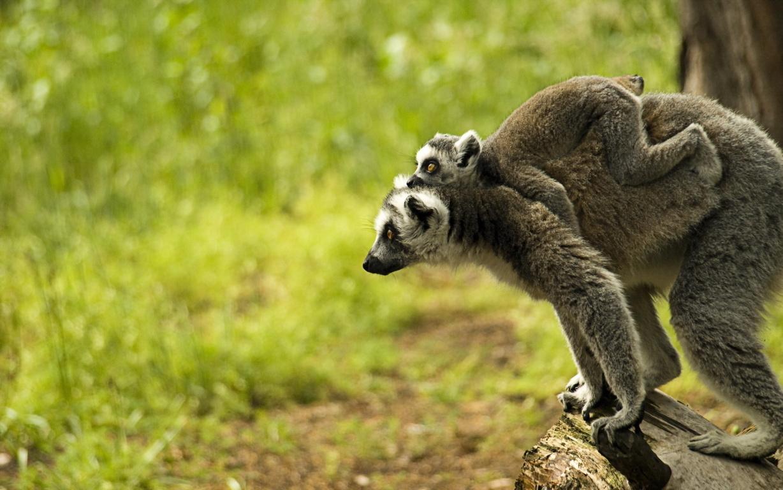 Ring Tailed Lemur In Ultra Hd Desktop Background Wallpaper Tree