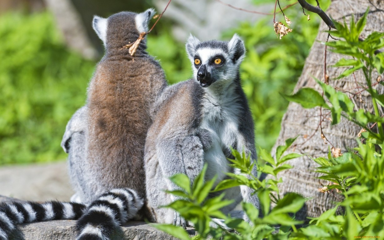 Ring Tailed Lemurs Tongue Ultra Hd Desktop Background Out