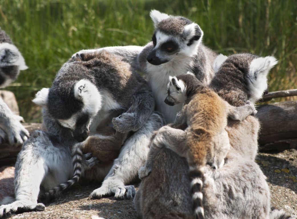 Sanderson Ringtailed Lemur Wallpaper John Lewis & Partners At