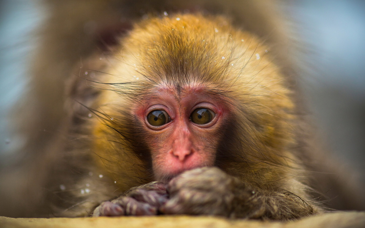 Small Cute Monkey Hd For Mobile Phones And Laptops Wallpaper