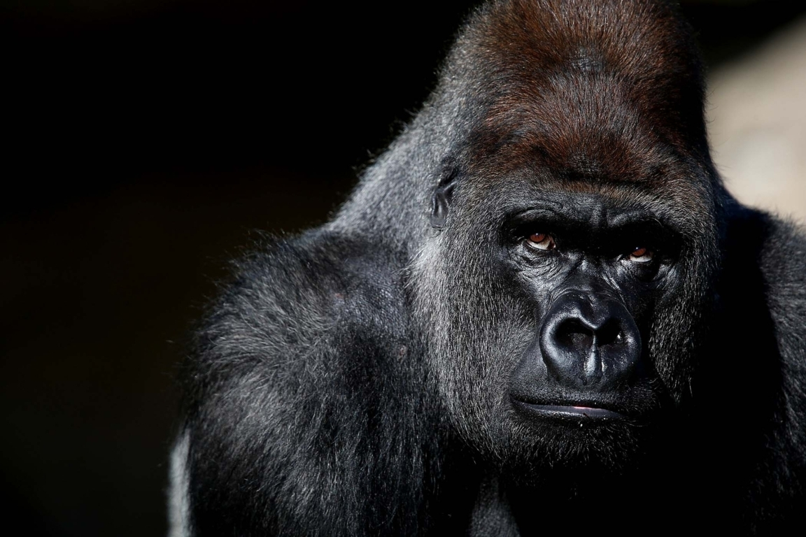 Top Gorilla Tattoo Drawings For Pinterest Tattoos Animal Image
