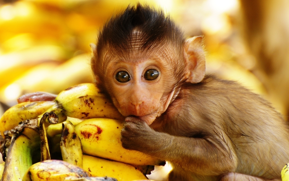 Wallpapers For Baby Monkey Wallpapers