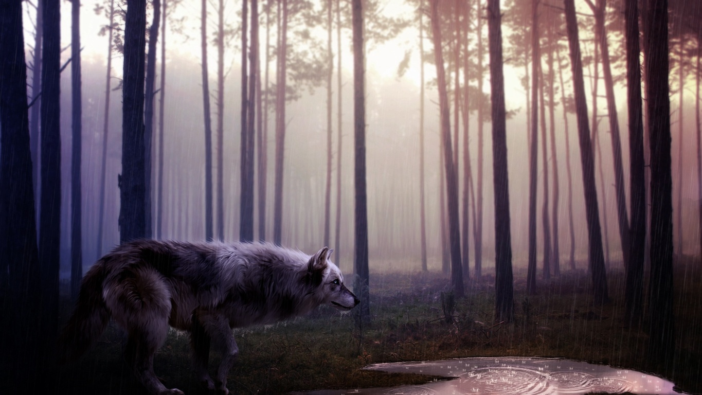 White Wolf Wallpaper Desktop Full Hd Of Laptop Pics Background