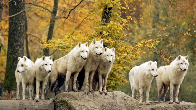 White Wolf Wallpaper HD Wallpaper