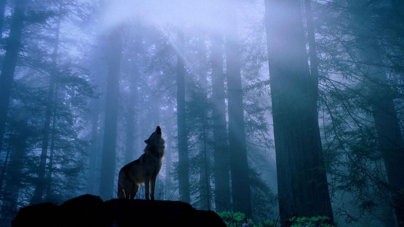 Wolf Full Hd Wallpaper Background Image And