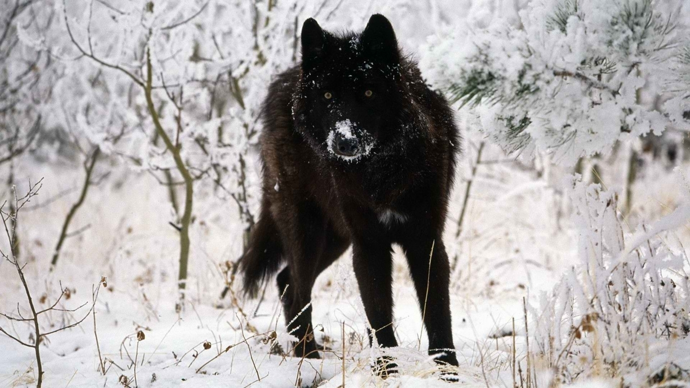 Wolf Hd Wallpaper And Images Background