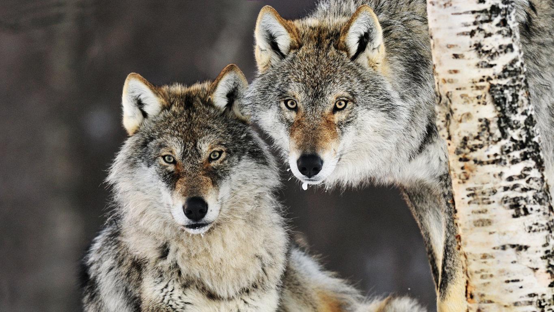 Wolf Wallpaper HD free download