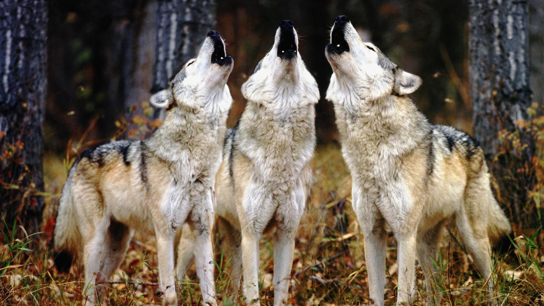 Wolf Wallpaper Hd Quality Image Wolf Wallpaper Full Hd Wolf