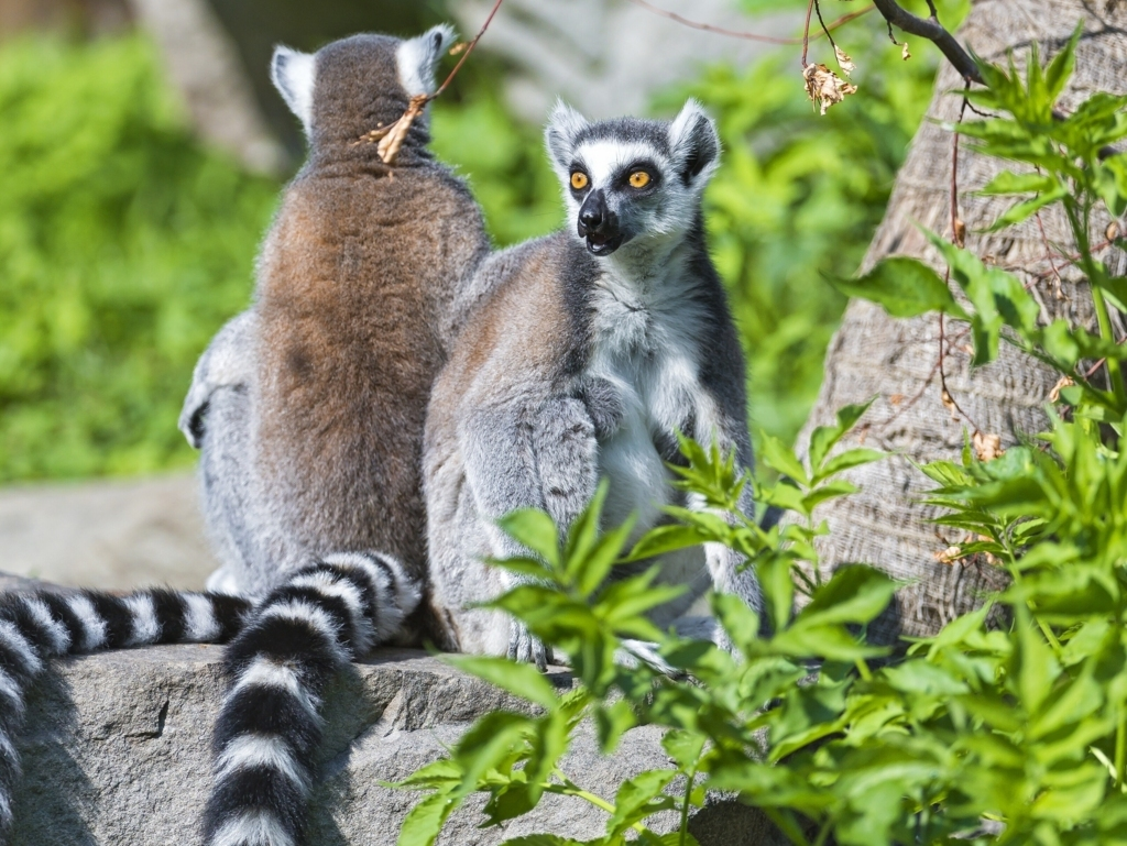 Zoboomafoo 2014 Lemur Iphone Iphone 6s Iphone 7 6