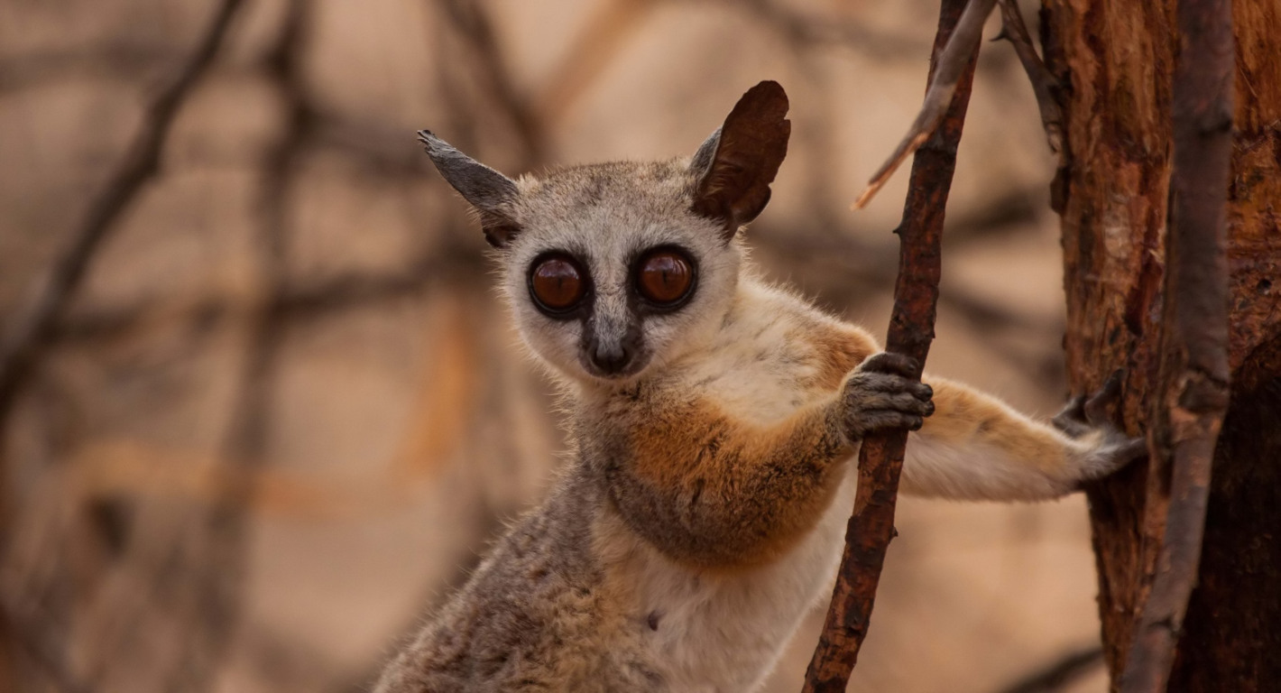 lemurs Wallpapers and Background