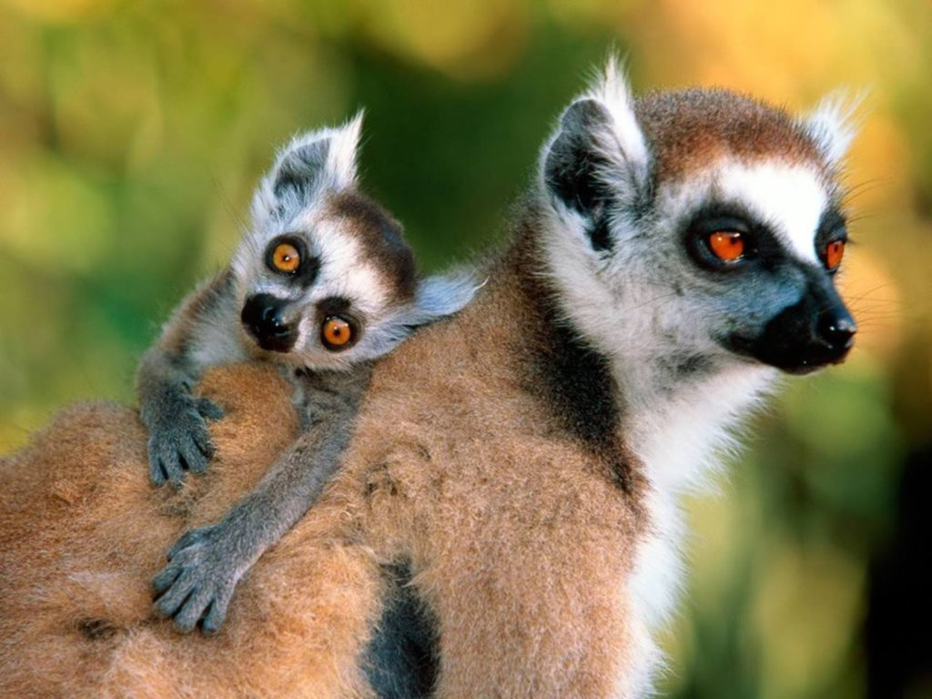 lemurs Wallpapers and Backgrounds