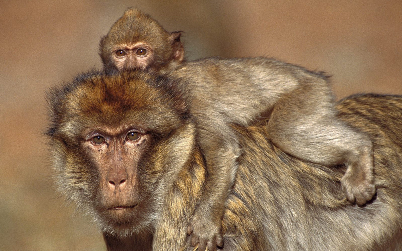 monkey desktop wallpapers