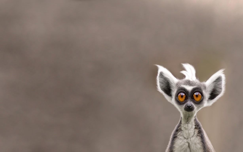 widescreen wallpapers lemur