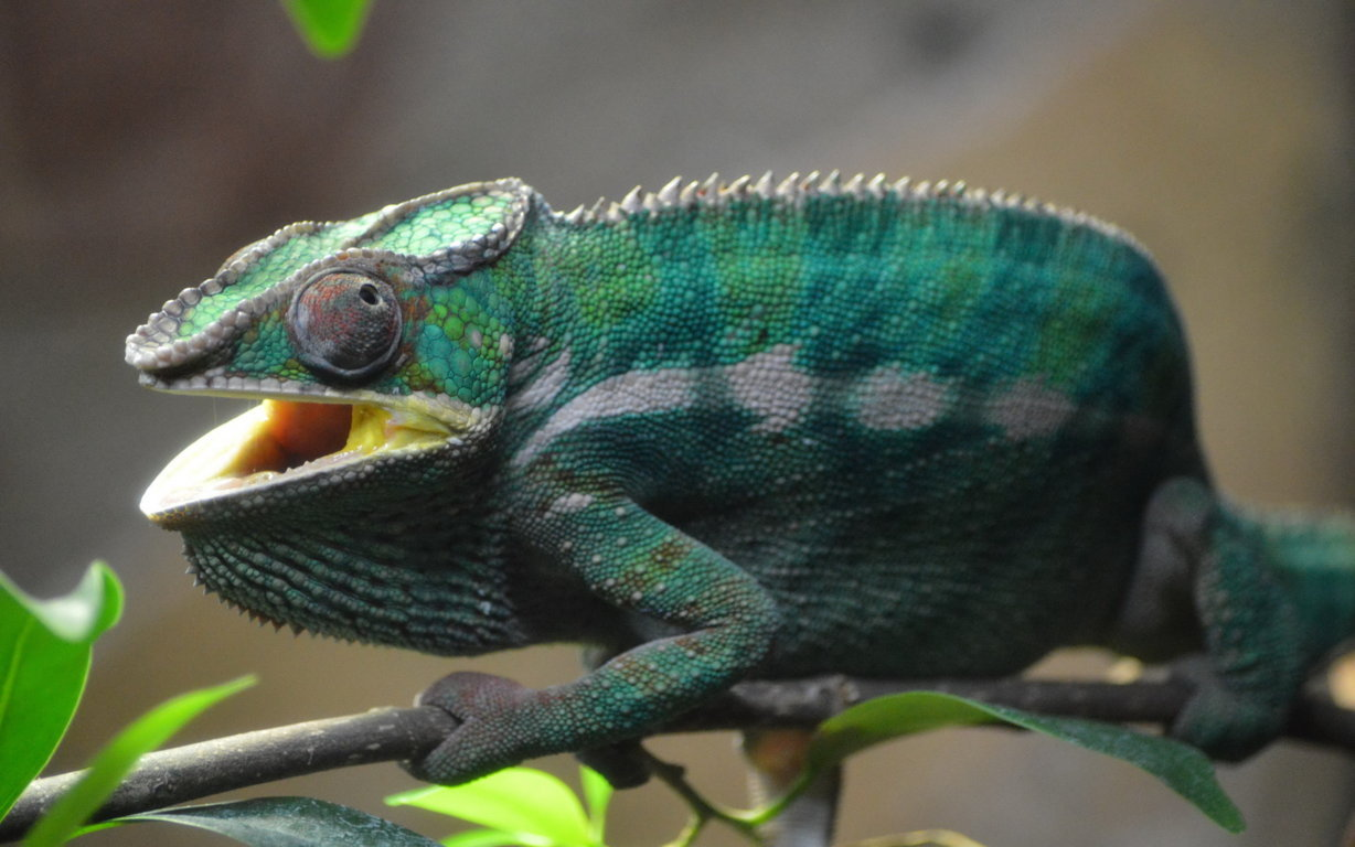 Baby Chameleon Perching On a Twisted Branch 4K wallpaper
