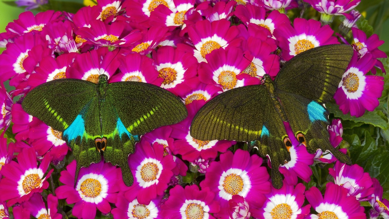 Blue Butterfly Wallpaper Background