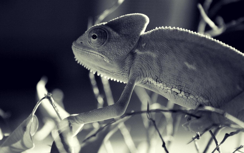 Chameleon Funny wallpaper