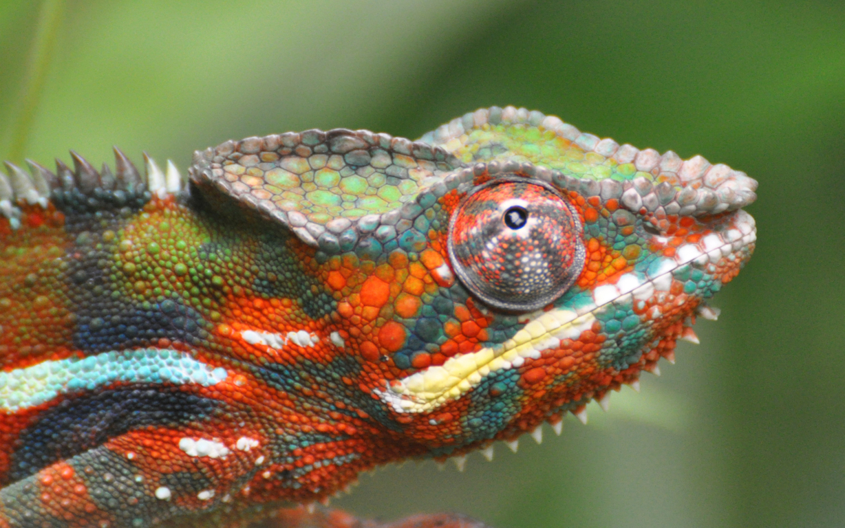 Chameleon Hunting on Insects Animals With Long Tongues