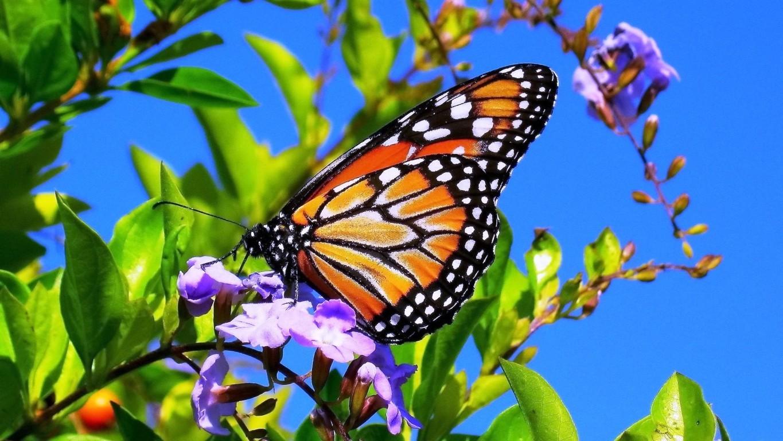 Desktop HD butterfly wallpaper