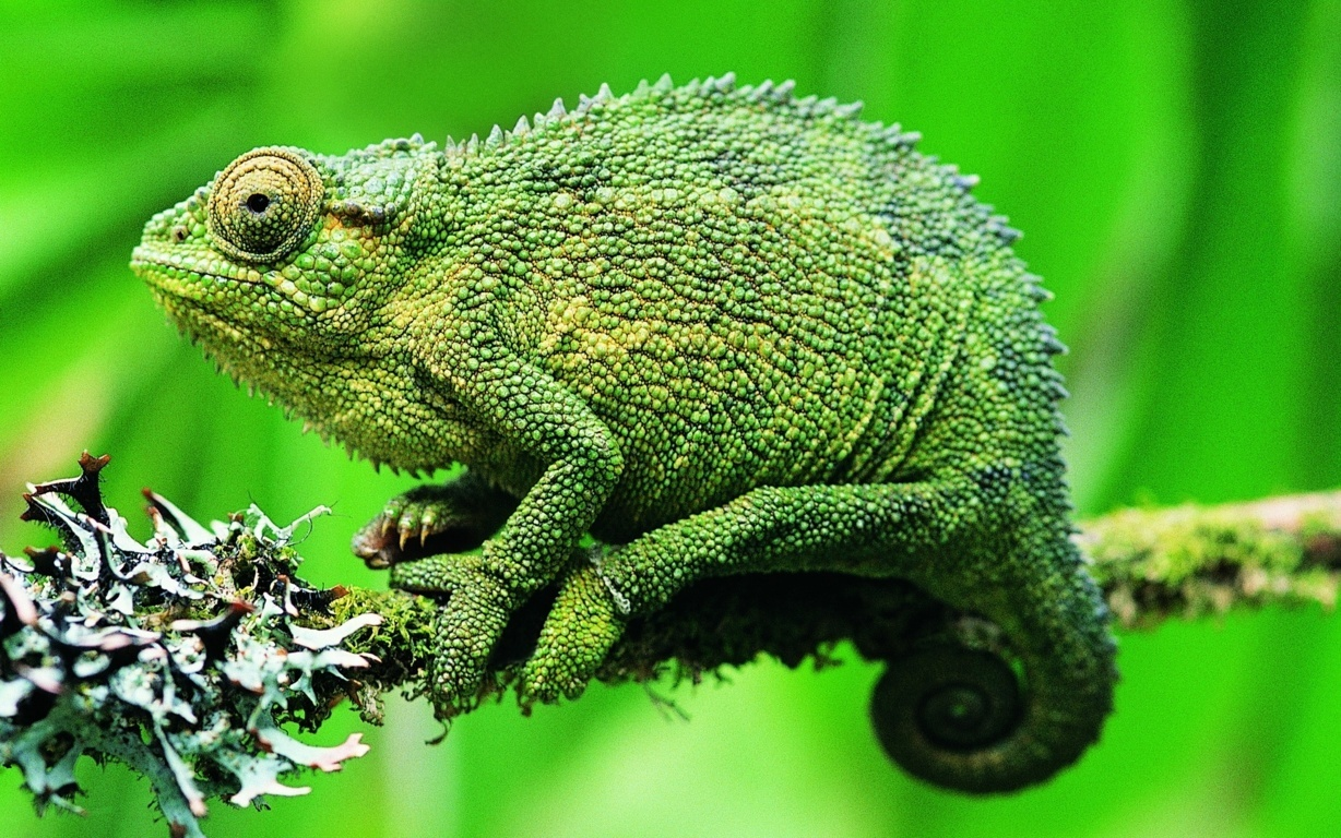 Download wallpaper reptile chameleon color twig iphone
