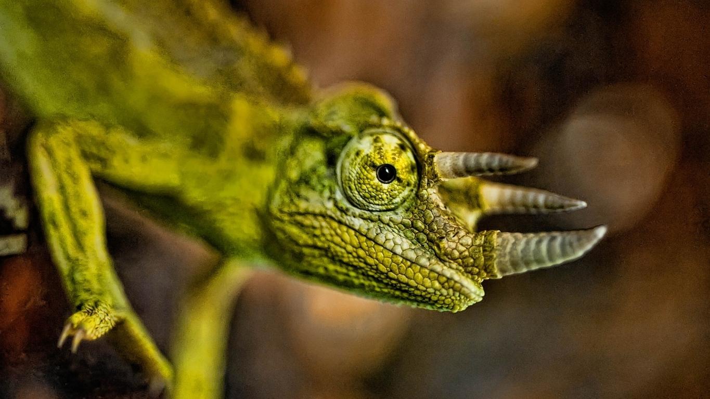 chameleon 4K wallpaper for your desktop or mobile screen