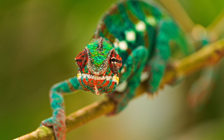 chameleon 4k free wallpaper desktop